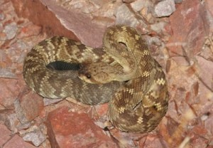 Blacktail Rattlesnake
