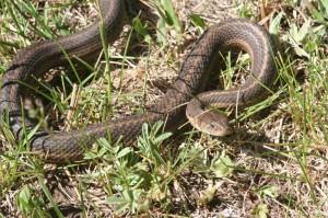 First Wandering Garter Snake