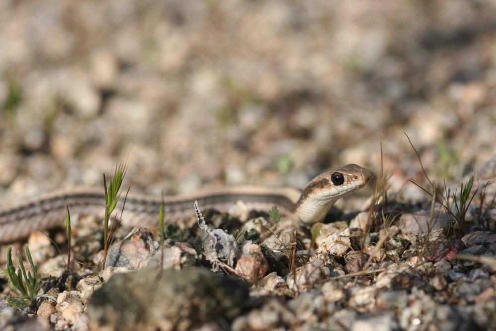 Salvadora hexalepis hexalepis